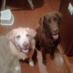 Jesse and Bosley (Labs) Pet Sitting Clients of Chloe's Playhouse