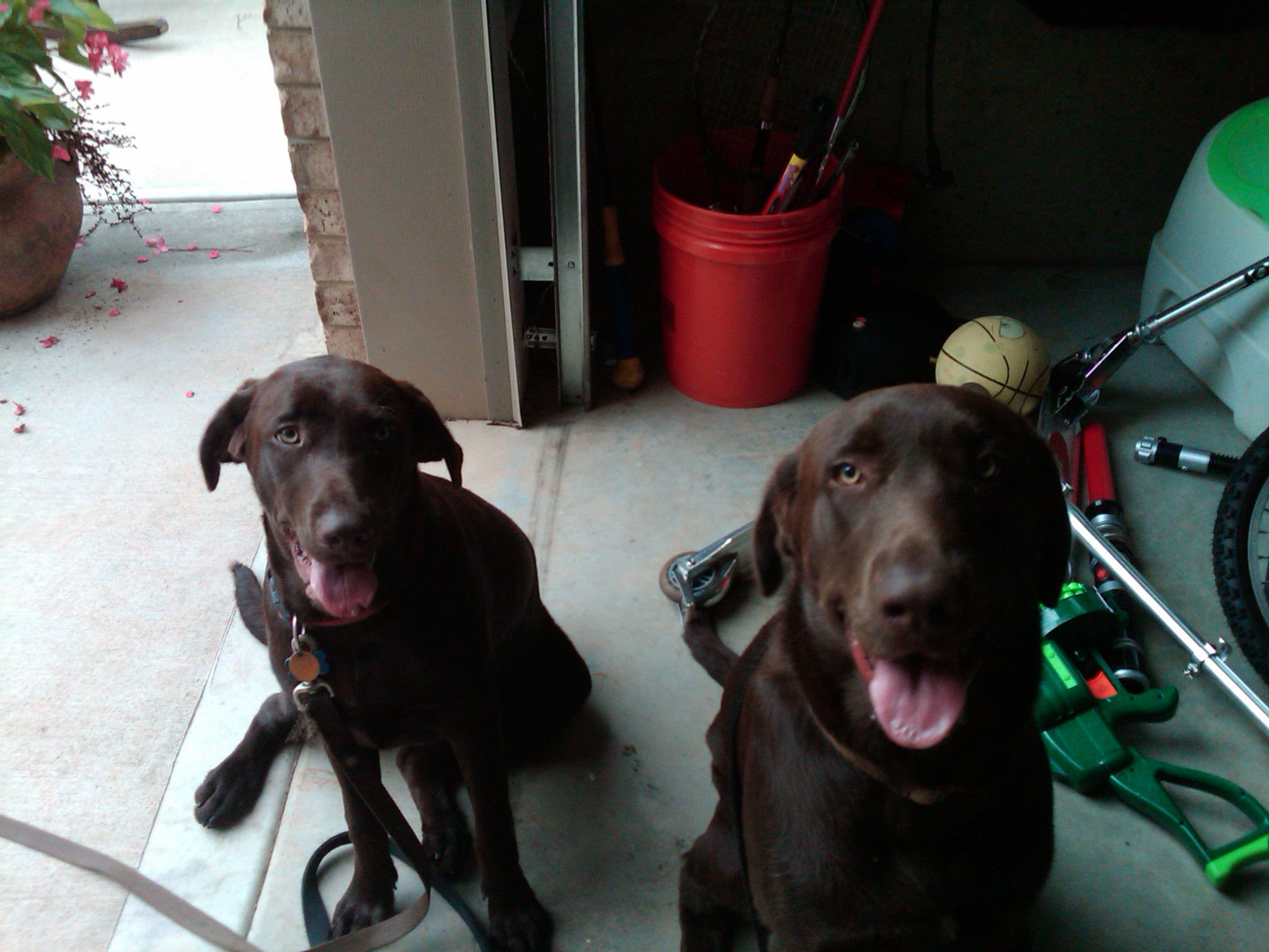 Pet Sitter and Dog Walker for these two Chocolate Lab pups!