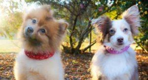 Dogs wearing calming collars.