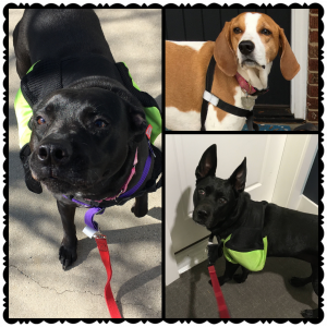 Dogs wearing the Walk Your Dog With Love Harness